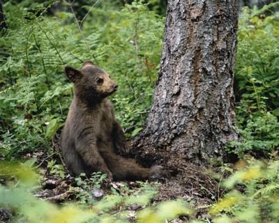 По малину — з ведмедем